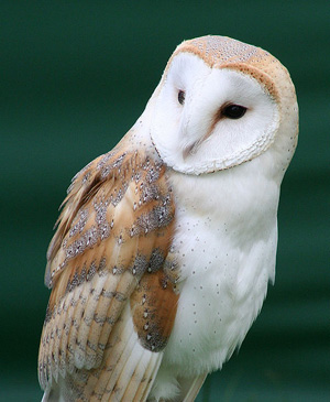 Owls - Pictures, Information, Sounds | The Aviary at Owls.com ...