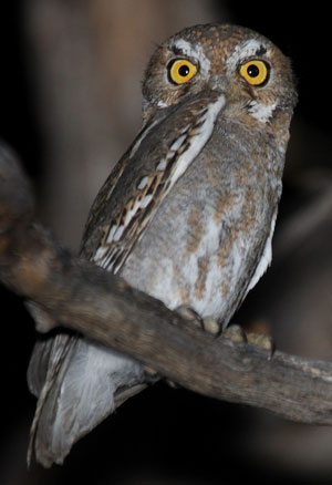 Elf Owl - Micrathene whitneyi | The Aviary at Owls.com ...