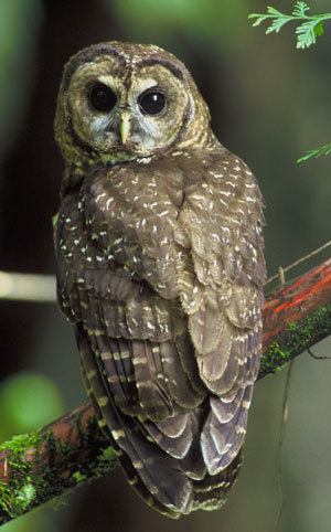 Spotted Owl Strix Occidentalis The Aviary At Owls Com