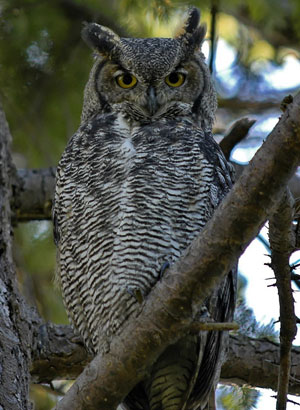 Great Horned Owl (Bubo virginianus) at Reifel Migratory Bird Sanctuary. Delta, BC, Canada.